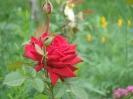 Это роза.с дачи