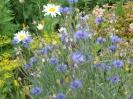 Цветы :: Васильки