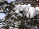 сосёнка в снегу
