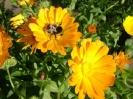 Цветы Крайнего Севера :: Ноготки